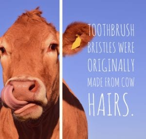 picture of a cow and dental fact about toothbrush bristles